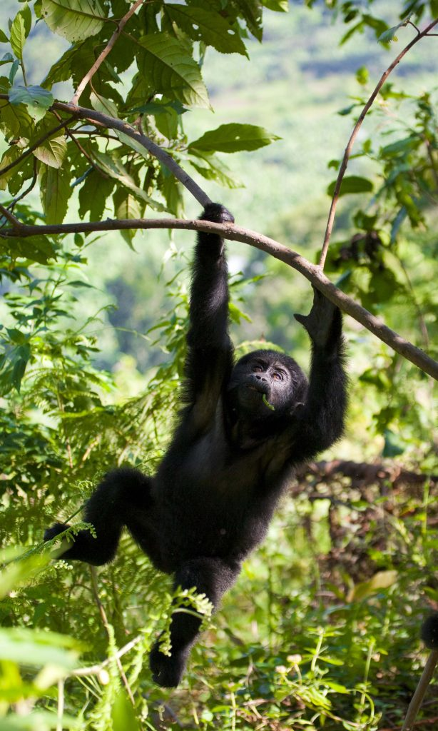 <p class=blog-cap>UGANDA // Wildlife enthusiasts know that a gorilla encounter is the ultimate wildlife experience, and Uganda offers chimp treks and other excursions to see incredible wildlife.</p>