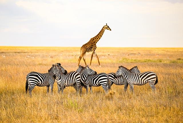 zebras-giraffe
