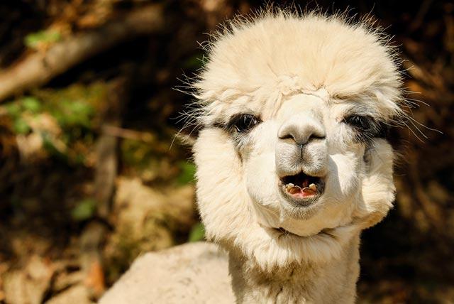 peru-alpaca